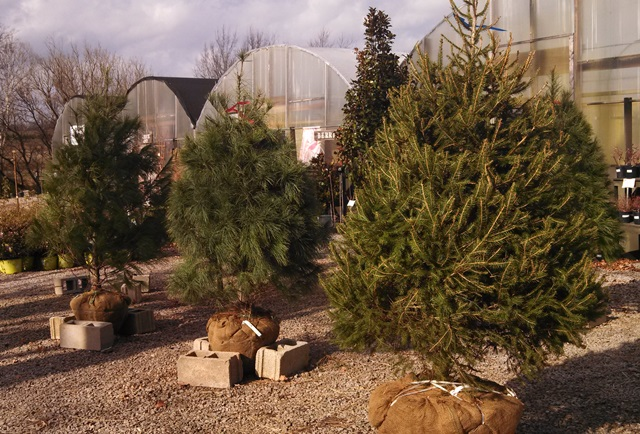 buying trees how to bring home