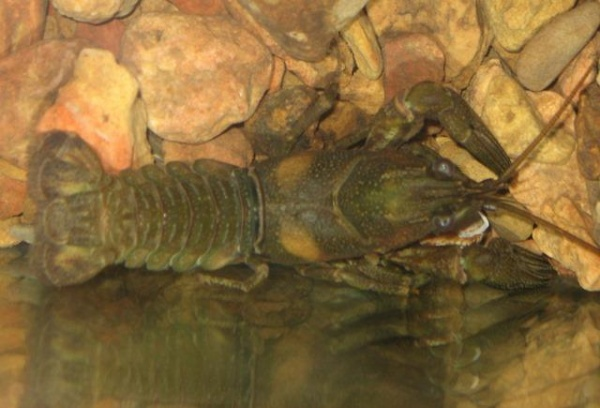 Nashville crayfish pictures in their home.
