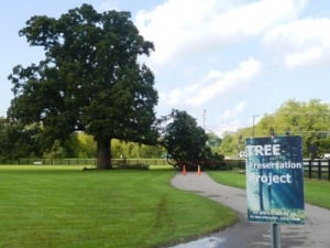 Library's landmark tree loses limb; city ponders next move