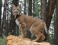 Bobcats a danger to small pets, not people