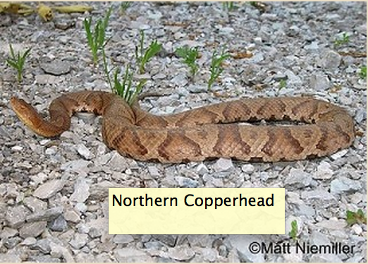 Brentwood resident narrowly escapes bite of copperhead snake while doing yardwork