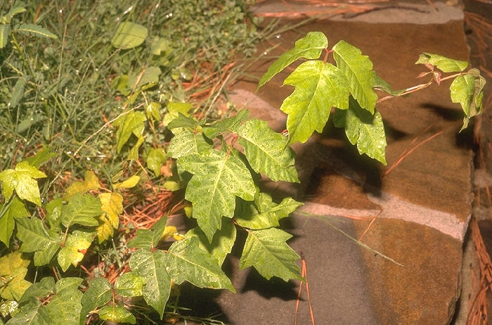 BE HEALTHY: Poison Center's tips for avoiding, treating poison ivy